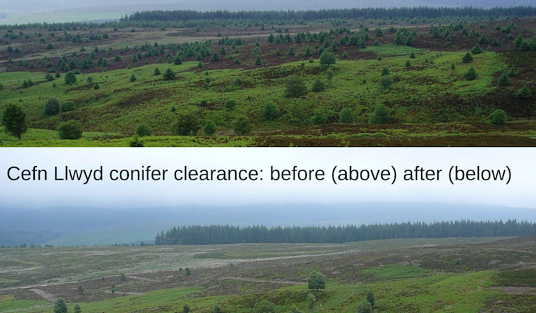 Cefn Llwyd Conifer Clearance- before and after pictures
