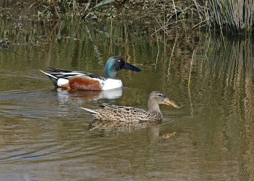 pair of shovelers in water