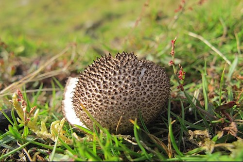 coden fwg Lycoperdon puffball