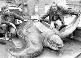 Harlech turtle