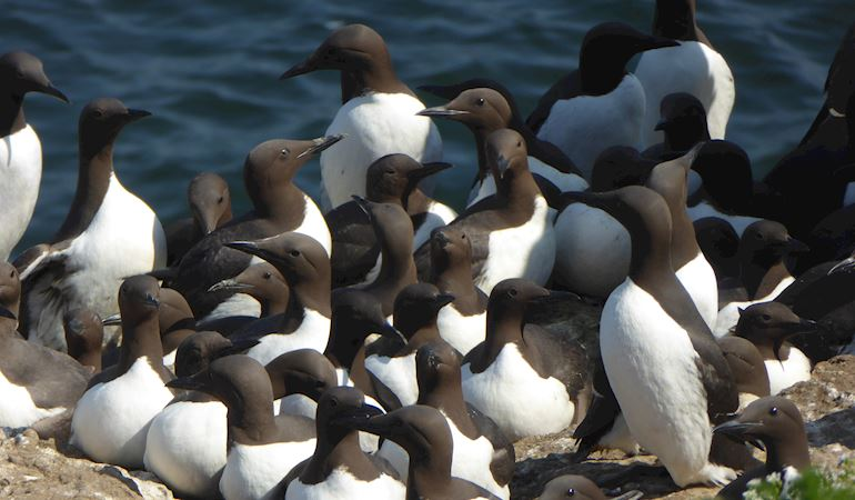 Group of Guillemots together