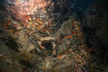 crab - skomer