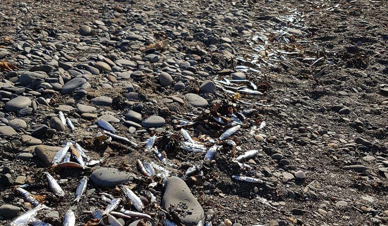 dead sprats at Aberystwyth