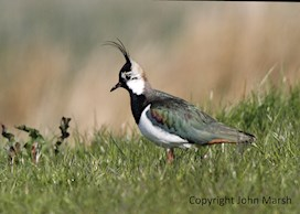 A lapwing at Newport Wetlands