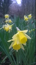 Daffodil at Penhow Woodlands