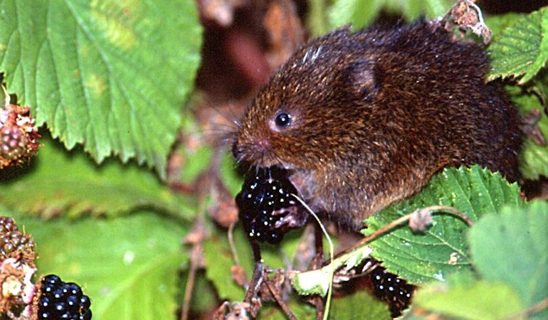 Water Vole eating a blackberry