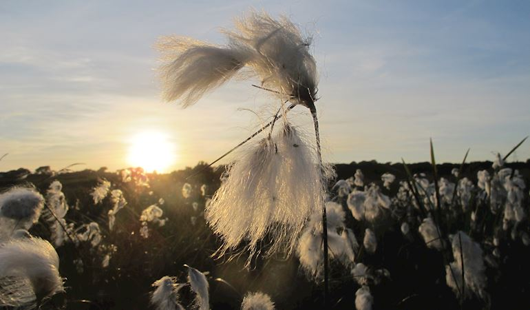 cotton grass, Anglesey fen