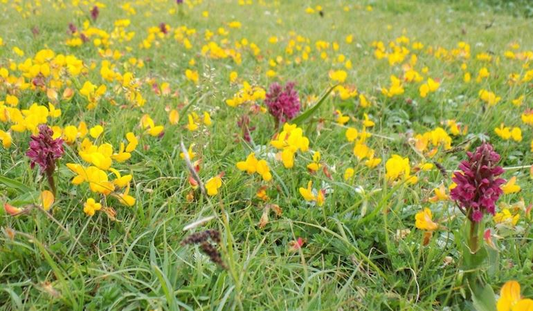 Orchids at Ynyslas