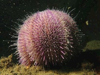 urchin at skomer