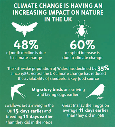 Climate change is having an increasing impact on nature in the UK. 48% of moth decline is due to climate change. 60% of aphid increase is due to climate change. The kittiwake population of Wales has declined by 35% since 1986. Across the UK climate change has reduced the availability of sandeels, a key food source. Migratory birds are arriving and laying eggs earlier. Swallows are arriving in the UK 15 days earlier and breeding 11 days earlier than they did in the 1960s. Great tits lay their eggs on average 11 days earlier than they did in 1968
