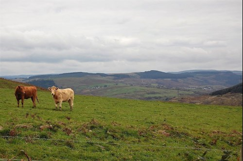 Two cows near Port Talbot