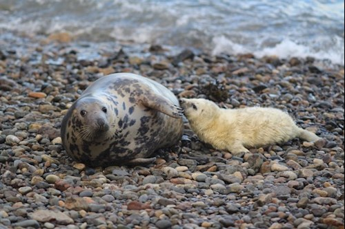 A grey seal lounging on the beach with her pup at Skomer Marine Conservation Zone.