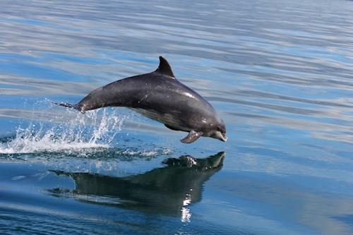 A bottlenose dolphin leaping out of the water.