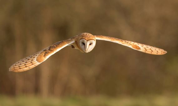 Low Flying Barn Owl