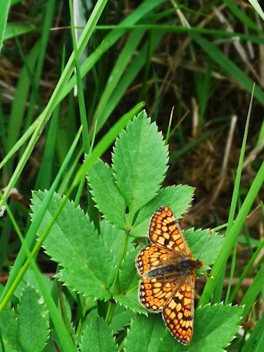 Photograph Of Marsh Fritillary Butterfly On Leaf