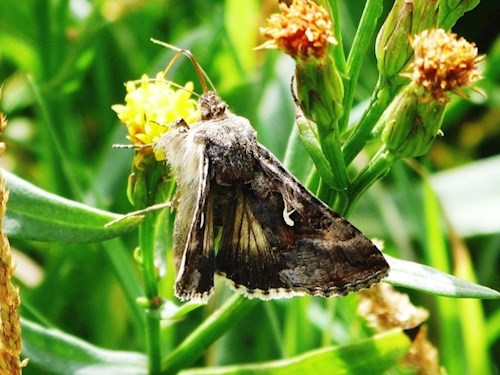 A moth feeding on an intertidal plant, specially adapted to survive in saline conditions such as a saltmarsh. This image was taken at Cwm Ivy where managed realignment has naturally occurred.