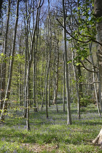 Photograph of birch woodland with bluebell ground flora