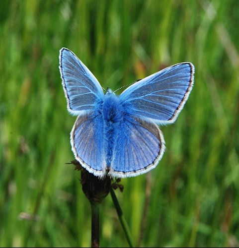 Common blue butterfly in Cefn Cribwr