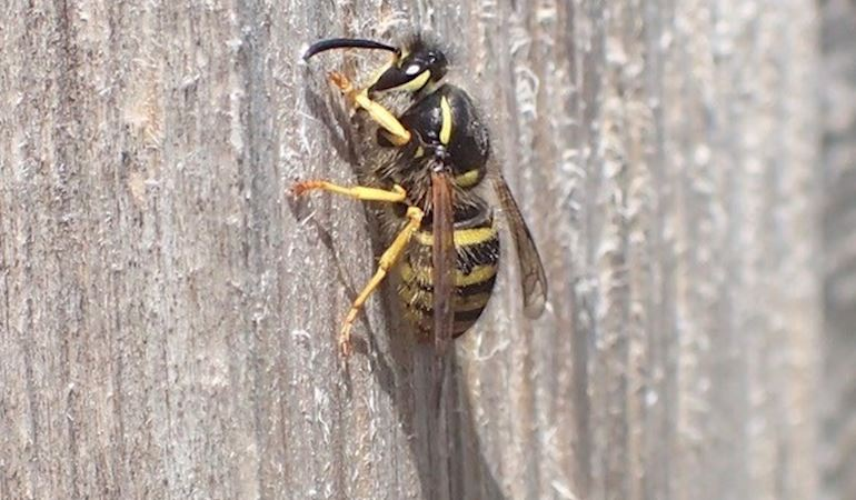 A wasp collecting wood for its nest