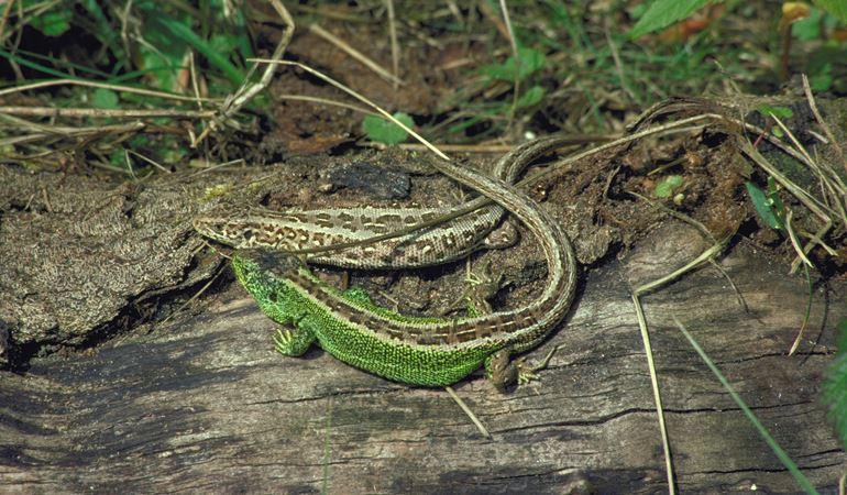 Dau lizard tywod ar log