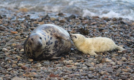 Seals and pup picture by Phil Newman
