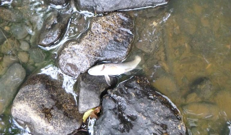 Fish kill in Afon Dulas