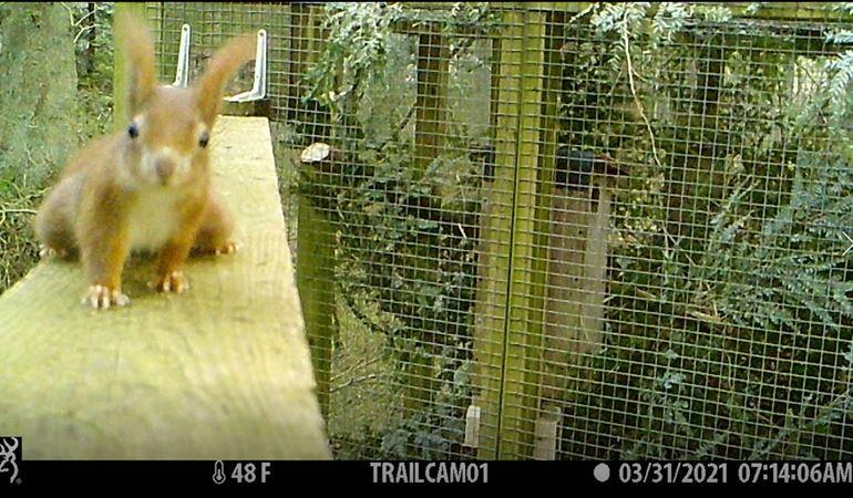 Red squirrel Clocaenog