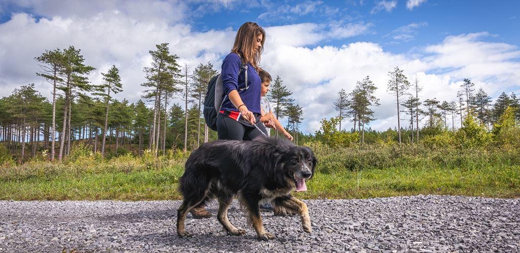 Dog walking in Pembrey Forest