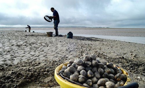 Image of cocklers fishing. There is a bucket full of cockles in the foreground