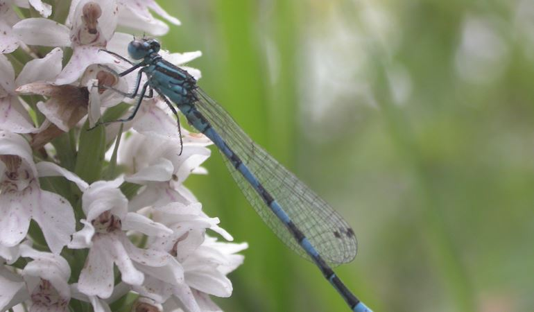 Southern Damselfly on a flowering plant