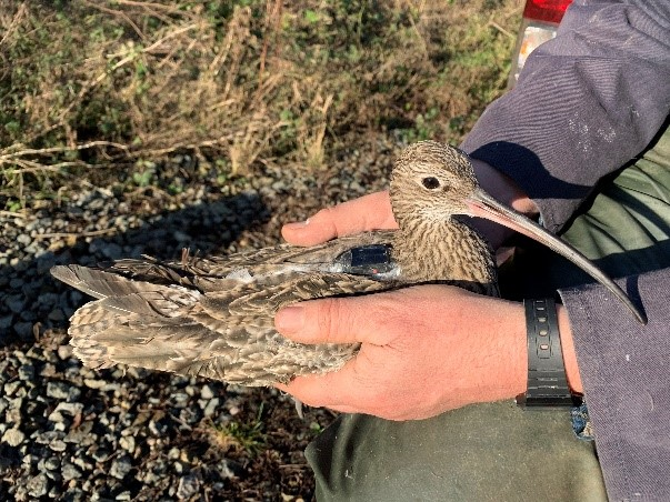 overwintering curlew